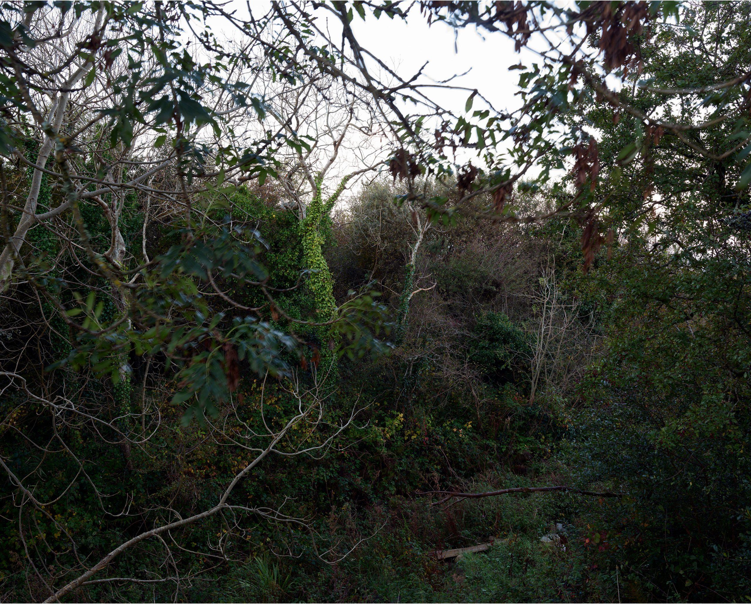 Tree dying of Ash Dieback